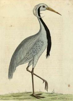 Eleazar Albin - A Natural History of Birds, 1731, London (illustrated by his daughter and the author himself)