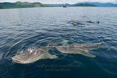 Los tiburones ballena en Bahía Cenderawasih
