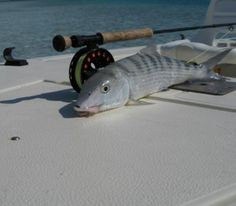 "Fishing the ""flats"" for beautiful bonefish"
