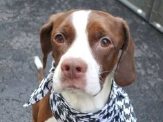 GONE - 03/22/15 Manhattan Center   My name is BEAUREGARD. My Animal ID # is A1029698. I am a male brown and white eng sprngr span mix. The shelter thinks I am about 1 YEAR 6 MONTHS old.  I came in the shelter as a SEIZED on 03/08/2015 from NY 10472, owner surrender reason stated was BITEPEOPLE.  https://www.facebook.com/photo.php?fbid=981042821908597