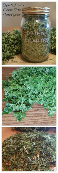 You can preserve herbs from your garden and have homegrown seasoning for your food all of the time! There are many herbs that you can preserve by drying them. CLICK THROUGH TO THE POST for some quick tips on how to dry cilantro for use in salsa, Mexican Spices And Herbs, Fresh Herbs, Cilantro Growing, Cilantro How To Store, How To Harvest Cilantro, Cilantro Plant, Basil Plant, Do It Yourself Food, Medicinal Plants
