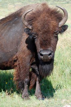 The Buffalo....tahtanka