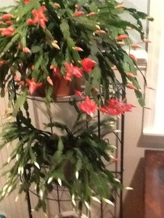Oh how I enjoyed my Christmas cactus, which bloomed at Thanksgiving.