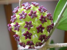 Hoya cinnamomifolia - Asclepiad, Hoya, Hoya cinnamomifolia, wax flower`~ WOW!