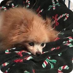 Venice, FL - Pomeranian. Meet Tinker, a dog for adoption. http://www.adoptapet.com/pet/18518374-venice-florida-pomeranian