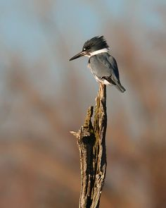 Photo Belted Kingfisher by Otis G Sowell Jr on 500px
