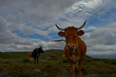 #castrolaboreiro Cow, Animals, Animales, Animaux, Cattle, Animal, Animais