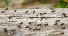 Getting rid of ants (in German language).