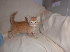 Nunzio is an adoptable Domestic Short Hair - Orange And White Cat in Altoona, PA. Orange And White Cat, Cute Cats, Short Hair Styles, Animals, Pretty Cats, Bob Styles, Animales, Animaux, Short Hair Cuts