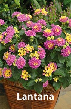 The 10 Best Drought Tolerant Plants that Grow in Lack of Water The plant is mainly grown as ornamental plant for its beautiful fragrance flowers. These are cultivated in tropical and sub-tropical regions all year around and love heat & drought conditions. Tall Plants, Outdoor Plants, Potted Plants, Garden Plants, Outdoor Spaces, Container Plants, Container Gardening, Container Flowers, Succulent Containers