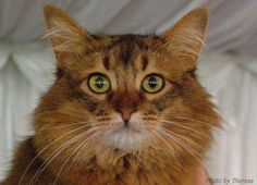 Somali Cats - Breed Profile and Facts