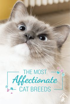Ragdoll cats are just one of the most affectionate cat breeds! Click the pin to see if your cat is a smooch monster. Ragdoll Cat Breed, Cat Breeds, Kittens Cutest, Snuggles, Animals, Cat, Animales, Animaux, Animal