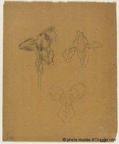 René Lalique Trois études de fleurs d'iris entre 1860 et 1945 crayon sur papier végétal H. 0.278 ; L. 0.223 musée d'Orsay, Paris, France