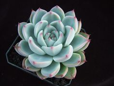 Echeveria chihuahuensis | Flickr - Photo Sharing!