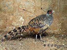 Cheer Pheasant or Wallich's pheasant