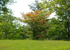 flame azalea - Rhododendron calendulaceum. Blue Ridge Parkway at 3000 ft, mid-May 2012