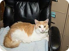 Medina, OH - Domestic Longhair. Meet Willy, a cat for adoption. http://www.adoptapet.com/pet/13478082-medina-ohio-cat