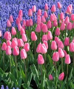 A four-time award-winner, the inside of this luminous tulip is light carmine-rose with a white base while the outside is a warm fuchsia-red....