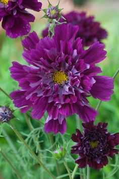 Cosmos bipinnatus 'Double Click Cranberries' | Fleuroselect