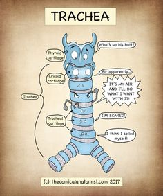 You searched for Trachea - The Comical Anatomist Biology Lessons, Science Biology, Basic Anatomy And Physiology, Funny Science Jokes, Medicine Student, Nursing School Notes, Respiratory System, Respiratory Therapy, Pharmacology Nursing