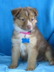 Nala is an adoptable Australian Shepherd Dog in Minneapolis, MN. Nala is a sweet girl that recently joined the rescue. She is not quite ready to go to her forever home but is ready to meet her forever...