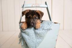 my sweet sweet Ajax, he's perfect. #germanshepherd
