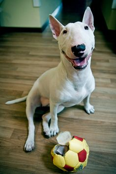 Can't help it...I'm a bit of a Bull Terrier geek