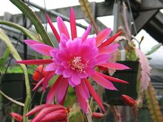 Epiphyllum - Screen Test