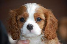 Cavalier King Charles Spaniel puppy <3