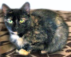 Magic is an adoptable Tortoiseshell Cat in O'Fallon, MO. Magic is a petite 1.5 year old tortoiseshell female who was an owner surrender. She is a friendly little girl who likes other kitties, as long ...