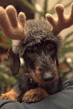Fröhliche Weihnachten Dackel, Teckel, Chrismas, Dachshund