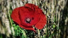 *** Red Poppy Flower *** wallpaper free