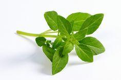 Como cultivar o manjericão – Do plantio a poda