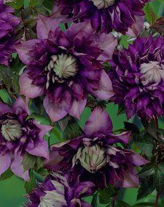 Waldrebe 'Royalty' • Clematis 'Royalty' • Pflanzen & Blumen • 99Roots.com