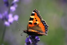 Close-up of a Vanessa Cardui ( Painted Lady) butterfly on lavender flowers. Vanessa Cardui, My Photos, Stock Photos, Creative Video, Lavender Flowers, Beautiful Butterflies, Image Collection, Royalty Free Images, Tatoos