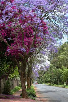 This year's Jacarandas, Pretoria, South Africa.   - Explore the World with Travel Nerd Nici, one Country at a Time. http://TravelNerdNici.com