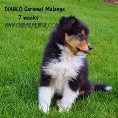 www.caramelmelange.com Shetland Sheepdog, Sheltie, Corgi, Cute, Caramel, Animals, Devil, Sticky Toffee, Corgis