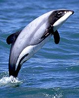 Endangered Hector's dolphin