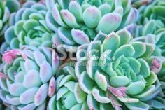 pictures of succulents - Bing images Outdoor Plants, Outdoor Gardens, Pictures Of Succulents, Rainbow Succulent, Agave Plant, Plant Cuttings, Hens And Chicks, Types Of Plants, Succulents Garden