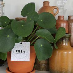 Ogreen favorite: Pilea Peperomioides  Www.ogreen.eu #pilea #pileapeperomioides #plants