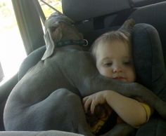 Weimaraners are born to cuddle!