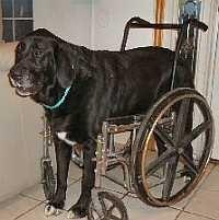 http://www.make-and-build-dog-stuff.com/homemade-dog-wheel-chair-designs.html