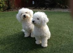 Do you love dogs? Here are 50 adorable Bichon Frise Dogs to make your heart melt. Animals And Pets, Baby Animals, Cute Animals, Bichon Dog, Teacup Chihuahua, Cute Dogs And Puppies, Cutest Dogs, Bull Terrier Dog, White Dogs