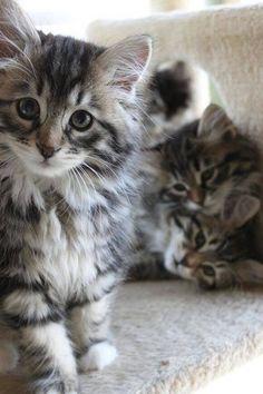 Ce Chaton tigré gris a voulu faire l'intéressant ..... Il est venu devant l'objectif alos que ses frères et soeurs sont restés derrière lui ....
