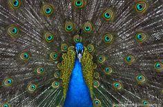 Pfau http://fc-foto.de/30366450