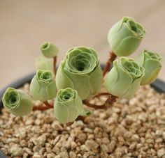 Called Greenovia Dodrentalis, these succulents have curved layered petals that make the plants look just like roses.
