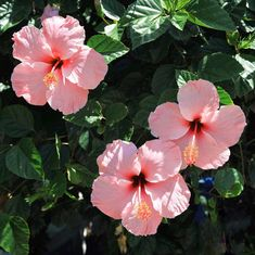 Latest Snap Shots Hibiscus aesthetic Strategies Expand hot hibiscus intended for a large, vibrant glimpse on your property, terrace or even patio. Hibiscus Flowers, Tropical Flowers, Pink Flowers, Beautiful Flowers, Hawaiian Flowers, Lilies Flowers, Exotic Flowers, Yellow Roses, Pink Roses