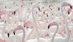 What a beautiful Flamingo pic : )