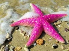 Asteroidea Starfish: Starfish seen in all the splendor of Hot Pink!!