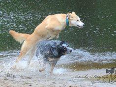 #Amerikaanse Dingo. Ingezonden op: 3 september 2013: Abbey American Dingo / Indian Dog Gek op rennen/spelen en water..................!!